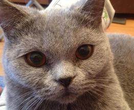 Британская короткошерстная кошка ищет заботливых хозяев - фото 1 к объявлению