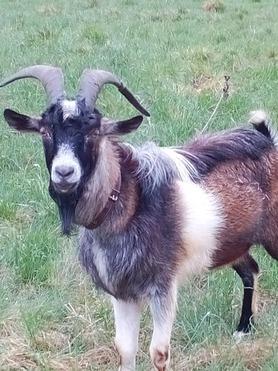 Продается коза - фотография  к объявлению