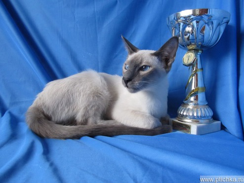 Продается сиамский котёнок (сиам) - фотография  к объявлению