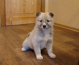 Продаются щенки западно-сибирской лайки - фото 1 к объявлению
