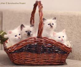 Продаются невские маскарадные котята (сибирский - фото 1 к объявлению
