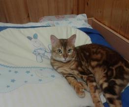 Бенгальская кошка (бенгал) ищет заботливых хозяев - фотография  к объявлению