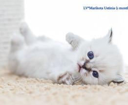 Продается священная бирма (бирманская кошка) - фото 1 к объявлению