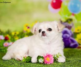 Очаровательные щенки чихуахуа - фото 1 к объявлению