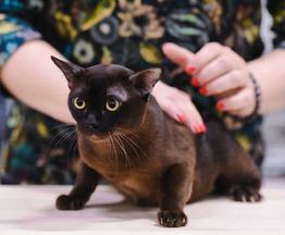 Бурма (бурманский кот) приглашает на вязку - фотография  к объявлению