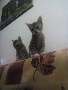 Домашняя короткошерстная кошка ищет заботливых хозяев - фото 1 к объявлению
