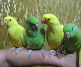 Продается попугай ожереловый - фотография  к объявлению