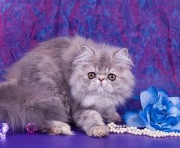 Котята экзотической и персидской породы из питомника Saigelan - фото 1 к объявлению