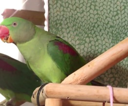 Продается александрийский попугай - фотография  к объявлению