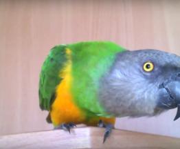 Продается сенегальский попугай - фотография  к объявлению