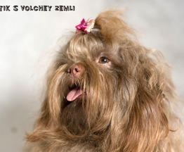 Продается русская цветная болонка - фото 1 к объявлению