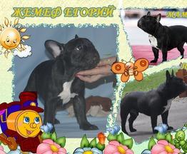 Продается щенок  французского бульдога - фотография  к объявлению