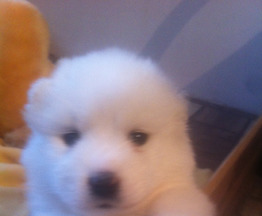 Продается самоедская собака - фотография  к объявлению
