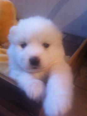 Продается самоедская собака - фото  к объявлению