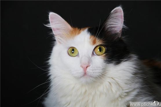 Красивая кошечка Шушуша ищет дом. - фото 1 к объявлению