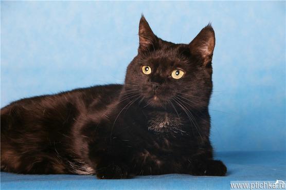 Шикарная черная кошечка ищет дом. - фото 1 к объявлению