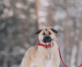 Крупная собака Арья в добрые руки. - фото 1 к объявлению