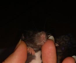 Крысята в заботливые любящие ручки - фото 1 к объявлению