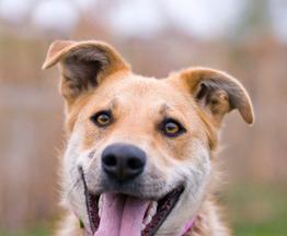 Чудесная собака Сенди в добрые руки - фото 1 к объявлению