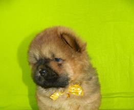 Продаются щенки  чау-чау - фото 1 к объявлению