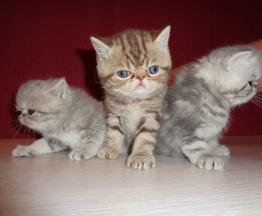 Продаются котята ЭКЗОТЫ - фото 1 к объявлению