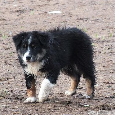 Продается австралийская овчарка - фотография  к объявлению