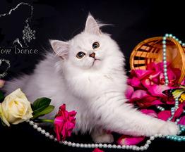 Продается шотландская вислоухая длинношерстная кошка (хайленд-фолд) - фото 1 к объявлению