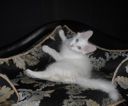 Продается ангорская кошка (турецкая ангора) - фото 1 к объявлению