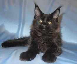 Чёрная пантерка Джамайка - фото 1 к объявлению