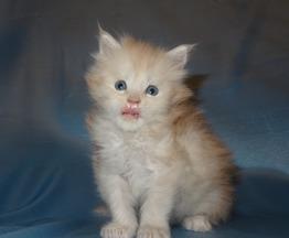 Малыш мейн кун Квентин - фото 1 к объявлению