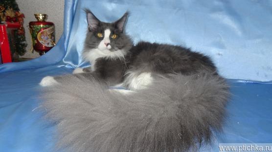 Роскошный котик подросток Геркулес - фото 1 к объявлению