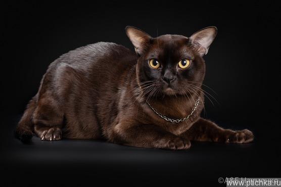 Бурма (бурманский кот) приглашает на вязку - фото 1 к объявлению