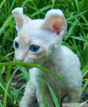 Клубные ухоженные котята Эльф из питомника - фотография  к объявлению