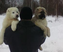 Продается кавказская овчарка - фото 1 к объявлению