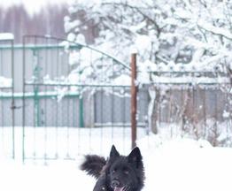 Ненецкая оленегонная лайка ищет заботливых хозяев - фото 1 к объявлению