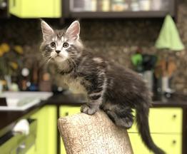 Продаются котята мейн кун - фото 1 к объявлению