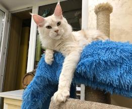 Продается котёнок мейн кун - фото 1 к объявлению