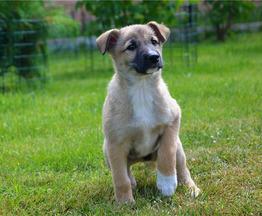 Чудесные щенки ищут любящую семью. - фото 1 к объявлению