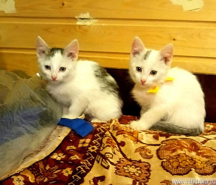 Котята срочно ищут дом - фотография  к объявлению