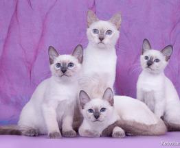 Тайские котята - фото 1 к объявлению