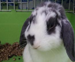 Продается французский баран кролик - фотография  к объявлению