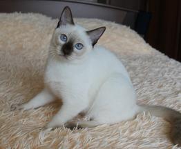 Продается тайская кошка - фотография  к объявлению