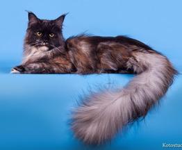 Котята Мейн-кун - фото 1 к объявлению