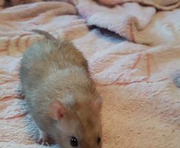 Крыса ищет заботливых хозяев - фото 1 к объявлению