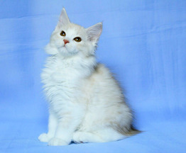 Котята курильского бобтейла - фото 1 к объявлению