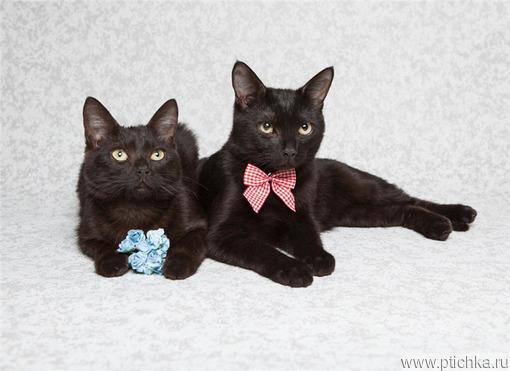 Подарите дом двум черным ласковым пантеркам. - фото 1 к объявлению