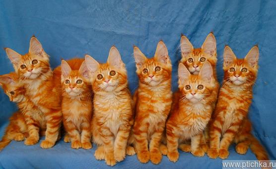 Котята мейн-кун рыжего окраса - фото 1 к объявлению