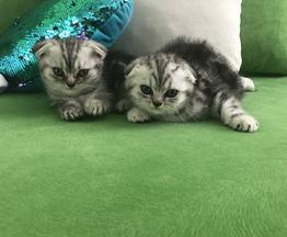 Продается шотландская кошка - фотография  к объявлению