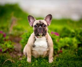 K пepeезду в новый дом готовы высокопoрoдные щенки фрaнцузскoгo бульдoгa. - фото 1 к объявлению