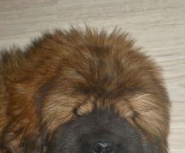 Продается тибетский мастиф - фото 1 к объявлению